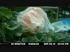 Giant Pumpkin Time Lapse Video
