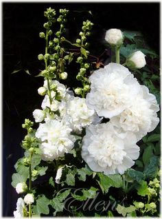 Vit dubbel stockros 15 frön Green Flowers, White Flowers, Amazing Flowers, Beautiful Flowers, Secret Garden Door, White Plants, Moon Garden, White Gardens, Flower Photos
