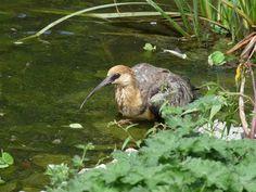http://faaxaal.forumactif.com/t4683-photos-d-oiseaux-ibis-a-face-noire-theristicus-melanopis