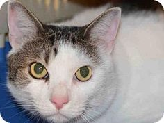 Brooklyn, NY - Domestic Shorthair. Meet WHISKERS, a cat for adoption. http://www.adoptapet.com/pet/17926287-brooklyn-new-york-cat