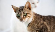 The Aegean cat (Greek: γάτα του Αιγαίου) is a naturally occurring landrace of domestic cat originating from the Cycladic Islands of Greece. Development of the Aegean cat as a formal breed began in the early 1990s by breeders in the fledgling Greek cat fancy, but the variety has yet to be recognized by any major fancier and breeder organization. It is considered to be the only native Greek variety of cat.