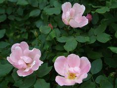 Low care roses – Ramblin' through Dave's Garden Rose Varieties, Cut Flowers, Shrubs, Roses, Bloom, Garden, Easy, Plants, Shade Shrubs