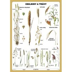 Obilniny a trávy Montessori, Free Printables, The 100, Homeschool, Hair Accessories, Herbs, Teaching, Education, A5