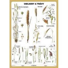 Obilniny a trávy