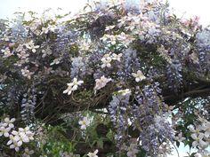 Blauwe regen in combinatie met een rose clematis. Een plaatje over de pergola.