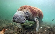 Underwater world Hydrodamalis, Sea cows Animals
