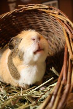 I really love guinea pigs <3
