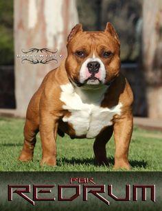 Beastro son RedRum. American bully dog.