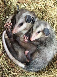Cute Wild Animals, Funny Animals, Nice Dogs, Baby Possum, Opossum, Cute Bears, Animal Memes, Sloth, Cousins