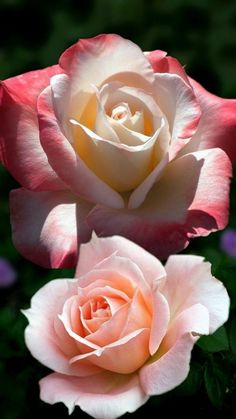 You're the most beautiful woman in the world, and the most precious treasure in my life. Praying for you and all our babies. Most Beautiful Flowers, Pretty Flowers, Lavender Roses, Pink Roses, Roses Only, Romantic Roses, Love Rose, Flower Images, Flowers Nature