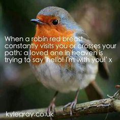 : RT When a robin red breast constantly visits u or crosses ur path,a loved one in heaven is trying to say hello I'm wit . Red Robin, Robin Bird, Baby Robin, Kyle Gray, Loved One In Heaven, Robin Redbreast, Miss You Dad, Bird Quotes, Thoughts