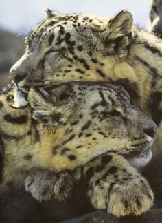 I saw these 2 Snow Leopards like this one day at Stone zoo and I thought it would make a beautiful image ! Big Cats, Cool Cats, Cats And Kittens, Beautiful Cats, Animals Beautiful, Animals And Pets, Cute Animals, Vida Animal, Gato Grande