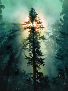 Redwood Tree and Sun