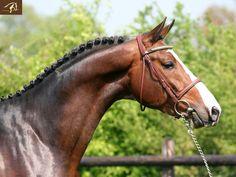 Bentley, KWPN stallion. Ain't he handsome!