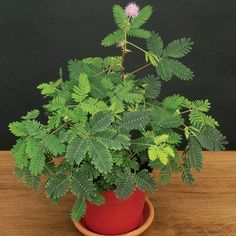 Learn how to grow mimosa pudica (sensitive plant). Growing mimosa pudica plant is fun. It's famous for its habit of closing up its foliage in night or when touched.