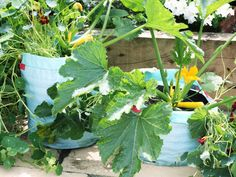 Zucchini and squash are great candidates for containers as well. Try these varieties --> http://hg.tv/pzit