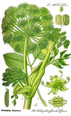Angelica Archangelica (LINN.) Synonyms---Garden Angelica. Archangelica officinalis.