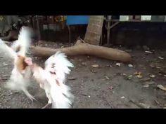 tupada Tagalog, Youtube, Animals, Animaux, Animal, Animales, Youtubers, Youtube Movies, Animais