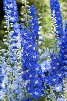 Blue Delphiniums by Maria Salata - 3 plants to buy and need to pot up seeds taken last year too. New plants to go behind the Cornflowers, next to Xmas tree at the back of the border.