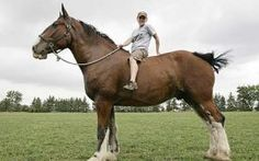 Poe the Clydesdale may be the world's tallest horse – and owner Shereen Thompson wants the Guinness Book of World Records to confirm it.  Miss Thompson, who owns a farm in Tupperville, Ontario, measured 10-year-old Poe at 20.2 hands – or 80.8 inches.  That is not a little kid. That's a grown man.