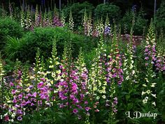 Foxgloves   Down the Garden Path   Pinterest