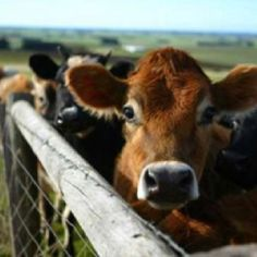 From cattle rancher site.      Love my jersey cows :)