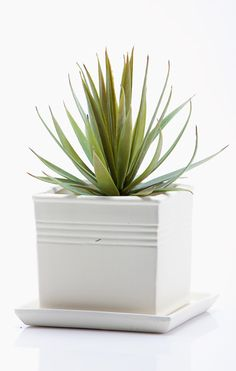 """8"""" Aloe Stem   """"I'm pinning for a chance to win the DownEast Basics Fall Back to Basics Sweepstakes""""."""