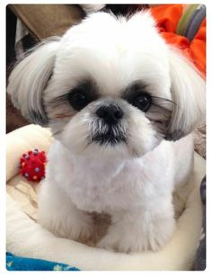 Dog Breeds The Shih Tzu's cuteness matches her vibrant and spunky personality. A breed known for its luxurious coat and adorable appearance, the Shih Tzu needs a lot of grooming to keep her looking good. Chien Shih Tzu, Shih Tzu Hund, Shih Tzu Puppy, Cute Puppies, Cute Dogs, Dogs And Puppies, Doggies, Shitzu Puppies, Retriever Puppies