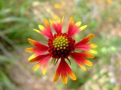 Firewheel Blanketflower Gaillardia pulchella  by Megan R. Hoover on 500px