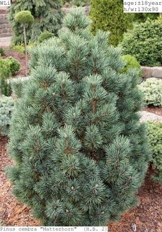 Pinus cembra 'Matterhorn'