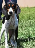Dazey She's probably an English Coonhound. Fabulous markings.
