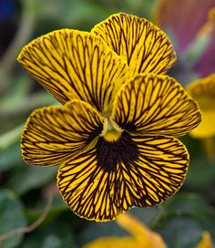 Striped Pansy