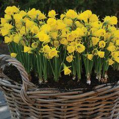 Narcissus bulbocodium | Thompson & Morgan