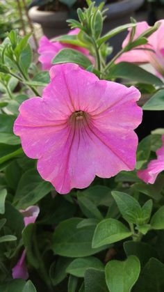 Petunia Supertunia Vista Bubblegum are a bright flower that look great mixed with other fowers and colors as well as great on their own.
