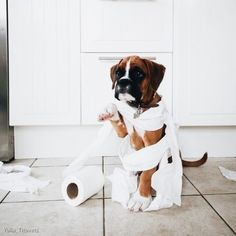 boxer puppies are too cute! Boxer Puppies, Cute Puppies, Cute Dogs, Dogs And Puppies, Boxer Breed, Boxer And Baby, Boxer Love, Labrador Golden, Funny Animals