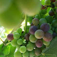 #PinotNoir new #vintage 2016. #siamofivi #fivi