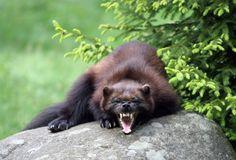 Wolverine - a predator // Järv (Gulo gulo).  En trött järv funderar på en tupplur.