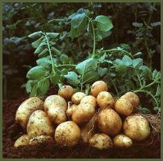 Potatissorter