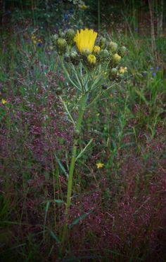 Sarjakeltano (Hieracium umbellatum)