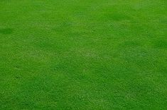 Bentgrass for Home L