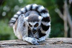 lemur close up by Jakub Zavrel on 500px