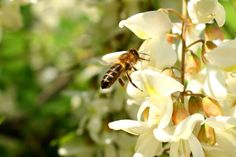 Agátový kvet: Sladký, voňavý, liečivý a jedlý. Skúste z neho pripraviť placky s banánom a quinoa vločkami - Záhrada.sk Acacia, White Flowers, Quinoa, Close Up, Insects, Bee, Plants, Image, Honey