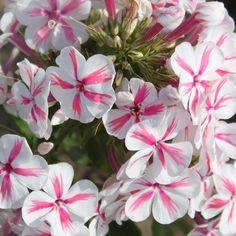 Syysleimu Twister My Flower, Flowers, Annual Plants, Fall Season, Perennials, Seasons, Garden, House, Pura Vida