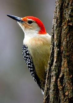 Red-bellied Woodpecker Identification, All About Birds, Cornell Lab of Ornithology Pretty Birds, Love Birds, Beautiful Birds, Animals Beautiful, Beautiful Pictures, Kinds Of Birds, Bird Pictures, Photos Of Birds, Mundo Animal