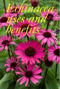 Echinacea uses and benefits - it can be used for skin diseases , respiratory illnesses , acne ,muscle problems and much more.