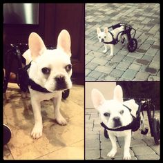 "Wheelchairs for Handicapped Dogs | Hand Built Quality by Ruff Rollin | ""Oz"" French Bulldog"