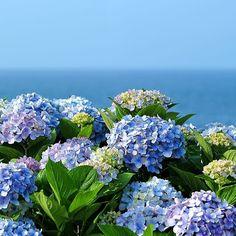 종달리 바다의 화려한 변신... 파스텔톤의 수국이 만개한 종달리 해안도로... -  #종달리 #수국 #요즘제주 #제주도 #제주 #제주도여행 #제주여행 #제주도사진 #제주사진 #제주풍경 #바다 #바다여행  #여행스타그램 #풍경스타그램  #여행… Hydrangea Landscaping, Hydrangea Garden, Hydrangea Flower, Flowers Nature, Beautiful Flowers, Garden Trees, Dream Garden, Beautiful Landscapes, Flower Power