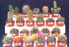 фото кактусов из Голландии