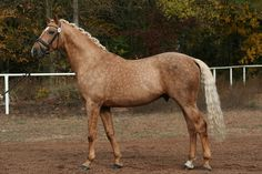Also known as the Golden Horse of Bohemia & Equus Kinsky, the Kinsky Horse comes from the Czech Republic and was Europe's first warmblood sporthorse. Today their numbers are so low they are one of the most threatened species of equidae.