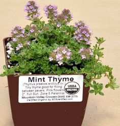 Mint Thyme ready for shipping. Creeping Thyme, Perennials, Mint, Herbs, Organic, Flowers, Plants, Lavender, Spices